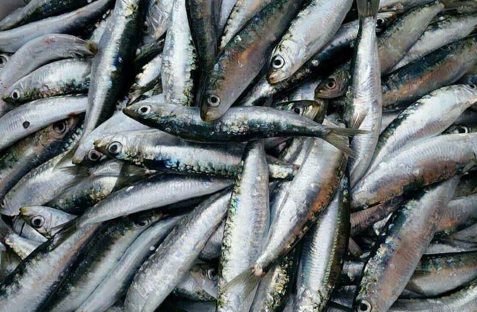 La sarda di Selinunte, periodo di pesca, conservazione e cenni storici